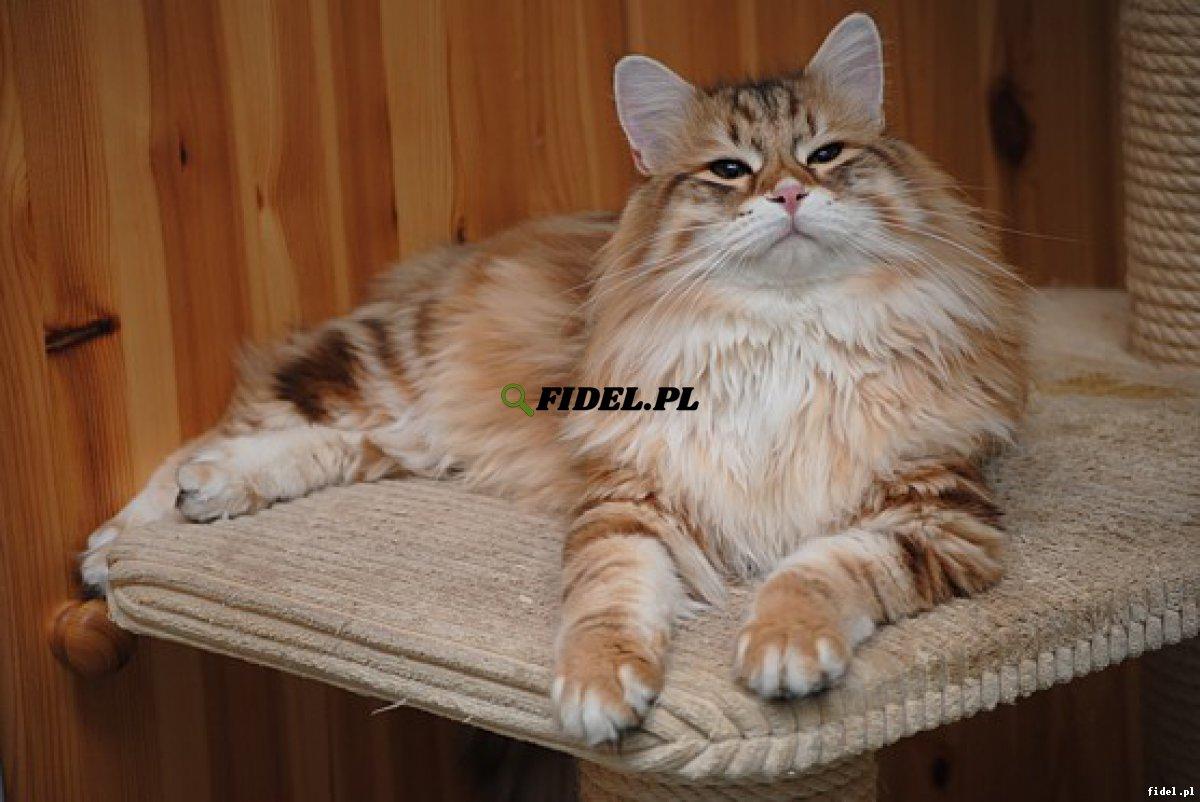 Hodowla Kotów Syberyjskich & Neva Masquerade Nowa Era*PL