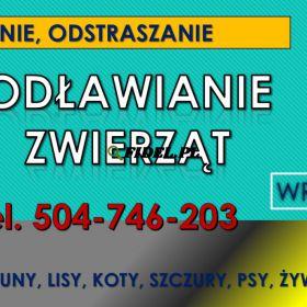 Odławianie dzikich zwierząt - Wrocław, tel. 504-746-203, wyłapywanie, cennik, usługi. Jak pozbyć się lisa lub kuny? Złapać zagubionego kota?